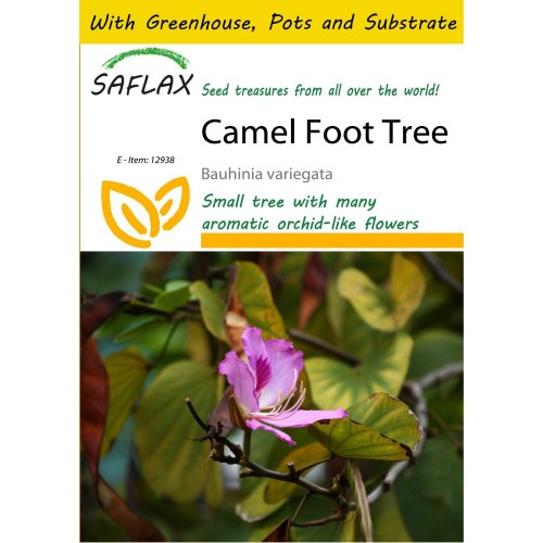 Saflax Potting Set - Camel Foot Tree - Bauhinia Variegata - 8 Seeds - with Mini Greenhouse, Potting Substrate and 2 Pots