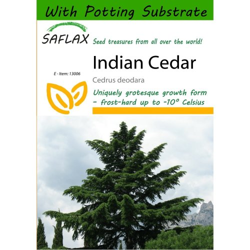 Saflax  - Indian Cedar - Cedrus Deodara - 35 Seeds - with Potting Substrate for Better Cultivation
