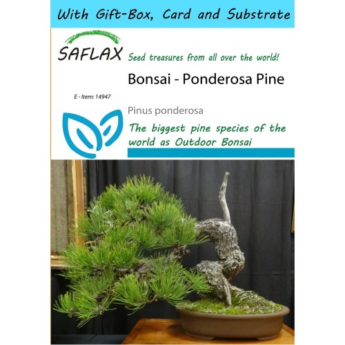 Saflax Gift Set - Bonsai - Ponderosa Pine - Pinus Ponderosa - 20 Seeds - with Gift Box, Card, Label and Potting Substrate