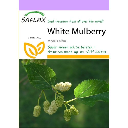 Saflax  - White Mulberry - Morus Alba - 200 Seeds