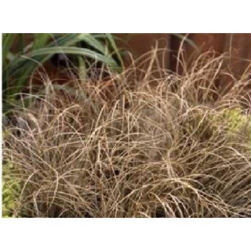 Grass - Carex Comans Bronze Curls - 10 Seeds