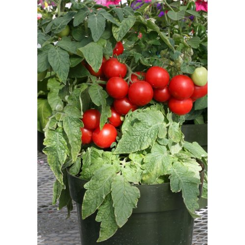 Vegetable - Tomato - Totem  F1 - 10 Seeds