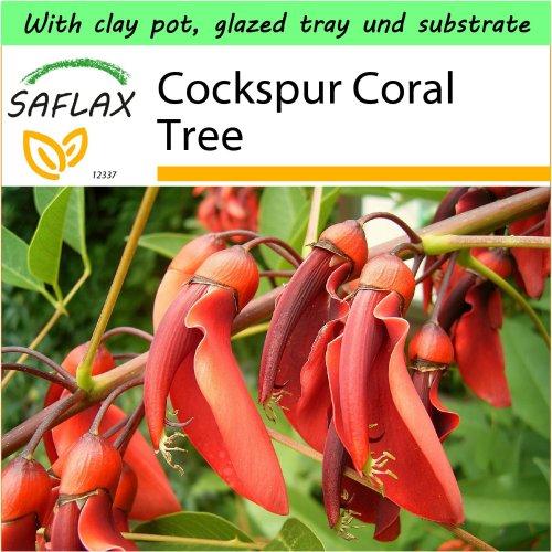 SAFLAX Garden to Go - Cockspur Coral Tree - Erythrina - 6 seeds