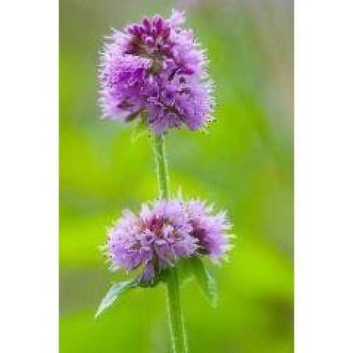 Wild Flower- Water Mint - Mentha Aquatica - 400 Seeds