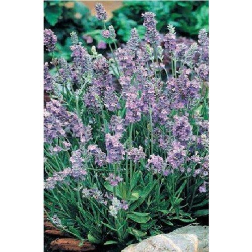Herb - Lavender - Ellagance - Sky - 12 Seeds