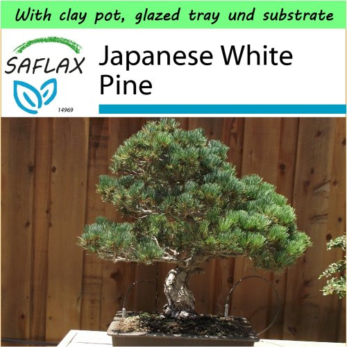 SAFLAX Garden to Go - Bonsai - Japanese White Pine - Pinus - 12 seeds