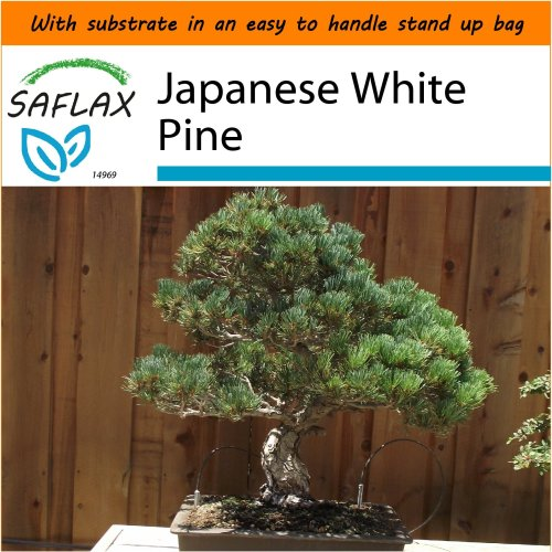 SAFLAX Garden in the Bag - Bonsai - Japanese White Pine - Pinus - 12 seeds
