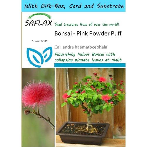 Saflax Gift Set - Bonsai - Pink Powder Puff - Calliandra Haematocephala - 10 Seeds - with Gift Box, Card, Label and Potting Substrate