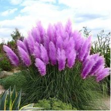 200Pcs Pampas Grass Seed Potted Ornamental Plants Purple Pampas Grass Garden Bonsai
