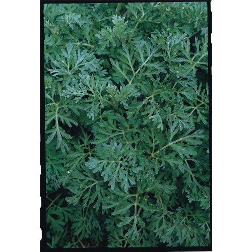 Herb - Wormwood - 12000 Seeds